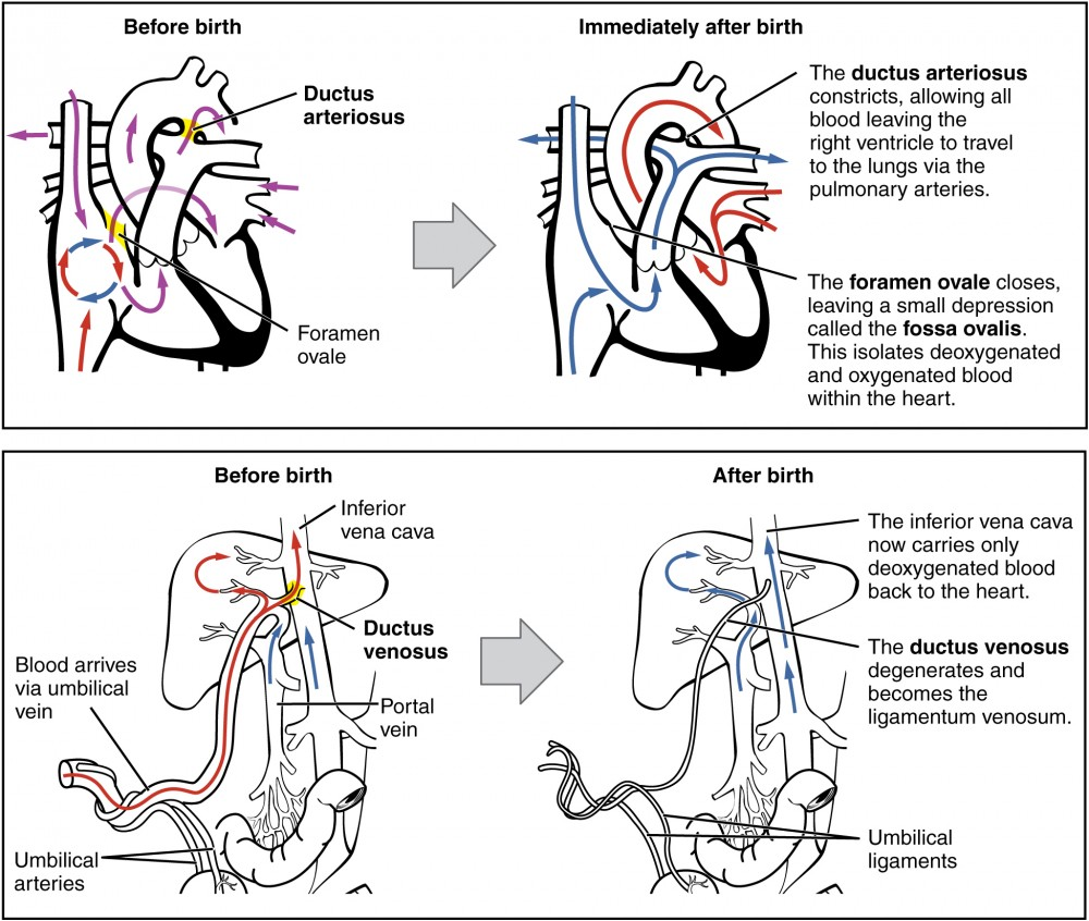 Adjustments of the Infant at Birth and Postnatal Stages | Anatomy ...