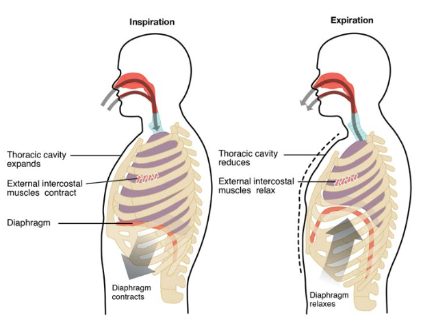 The Process of Breathing | Anatomy and Physiology II