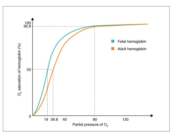 Oxygen-Hemoglobin Dissociation Curves in Fetus and Adult
