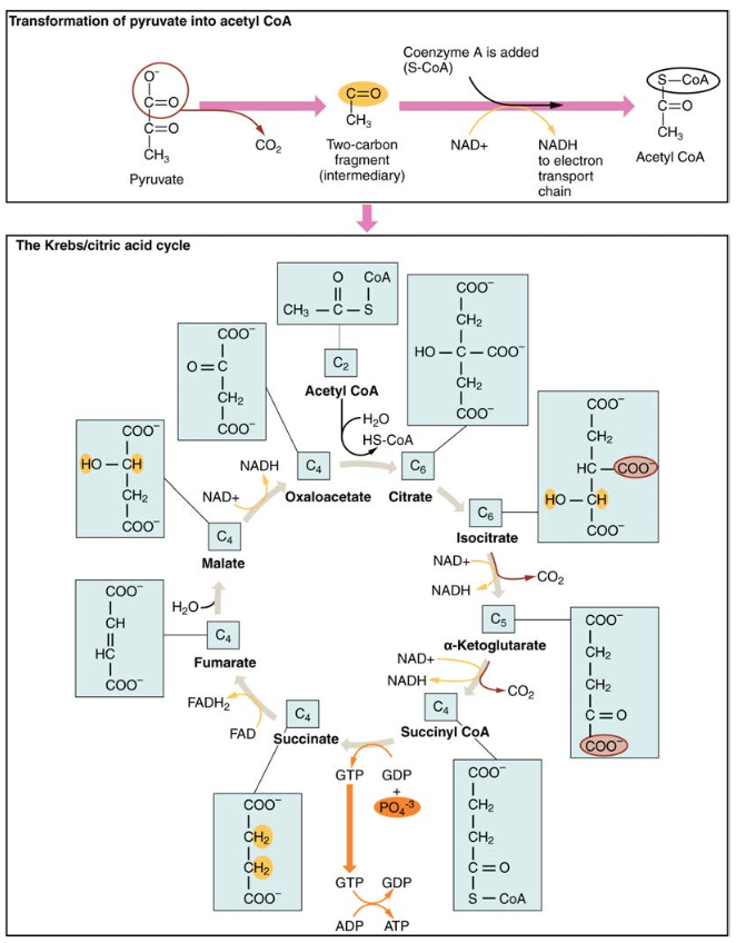 The Krebs Cycle Diagram