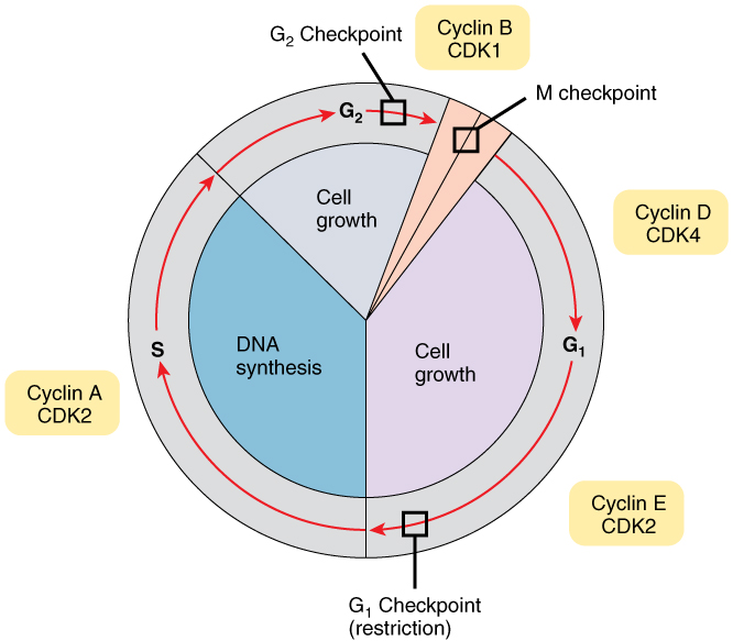 0332_Cell_Cycle_With_Cyclins_and_Checkpoints