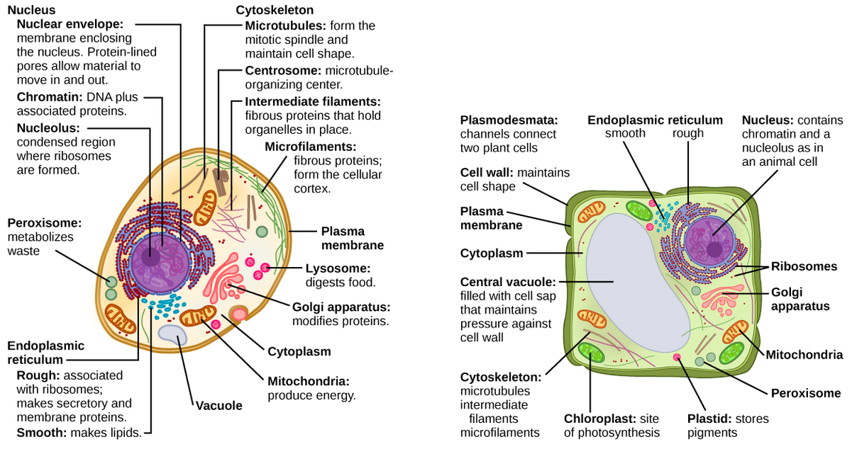 Part a: This illustration shows a typical eukaryotic cell, which is egg shaped. The fluid inside the cell is called the cytoplasm, and the cell is surrounded by a cell membrane. The nucleus takes up about one-half of the width of the cell. Inside the nucleus is the chromatin, which is comprised of DNA and associated proteins. A region of the chromatin is condensed into the nucleolus, a structure in which ribosomes are synthesized. The nucleus is encased in a nuclear envelope, which is perforated by protein-lined pores that allow entry of material into the nucleus. The nucleus is surrounded by the rough and smooth endoplasmic reticulum, or ER. The smooth ER is the site of lipid synthesis. The rough ER has embedded ribosomes that give it a bumpy appearance. It synthesizes membrane and secretory proteins. Besides the ER, many other organelles float inside the cytoplasm. These include the Golgi apparatus, which modifies proteins and lipids synthesized in the ER. The Golgi apparatus is made of layers of flat membranes. Mitochondria, which produce energy for the cell, have an outer membrane and a highly folded inner membrane. Other, smaller organelles include peroxisomes that metabolize waste, lysosomes that digest food, and vacuoles. Ribosomes, responsible for protein synthesis, also float freely in the cytoplasm and are depicted as small dots. The last cellular component shown is the cytoskeleton, which has four different types of components: microfilaments, intermediate filaments, microtubules, and centrosomes. Microfilaments are fibrous proteins that line the cell membrane and make up the cellular cortex. Intermediate filaments are fibrous proteins that hold organelles in place. Microtubules form the mitotic spindle and maintain cell shape. Centrosomes are made of two tubular structures at right angles to one another. They form the microtubule-organizing center. Part b: This illustration depicts a typical eukaryotic plant cell. The nucleus of a plant cell contains chromatin and a nucleolus, the same as in an animal cell. Other structures that a plant cell has in common with an animal cell include rough and smooth ER, the Golgi apparatus, mitochondria, peroxisomes, and ribosomes. The fluid inside the plant cell is called the cytoplasm, just as in an animal cell. The plant cell has three of the four cytoskeletal components found in animal cells: microtubules, intermediate filaments, and microfilaments. Plant cells do not have centrosomes. Plants have five structures not found in animals cells: plasmodesmata, chloroplasts, plastids, a central vacuole, and a cell wall. Plasmodesmata form channels between adjacent plant cells. Chloroplasts are responsible for photosynthesis; they have an outer membrane, an inner membrane, and stack of membranes inside the inner membrane. The central vacuole is a very large, fluid-filled structure that maintains pressure against the cell wall. Plastids store pigments. The cell wall is localized outside the cell membrane.