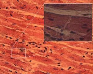 Cardiac muscle microscope slide
