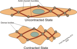 Diagram of contracted and uncontracted states of muscle tissue