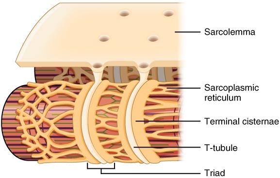 Diagram showing the sarcolemma, sarcoplasmic reticulum, terminal cisternae, t-tubule, and triad