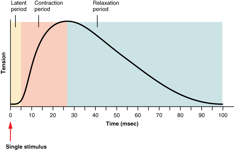 A graph shows the relation between tension and time during muscle twitches. The curve first increases and then decreases with increasing time.