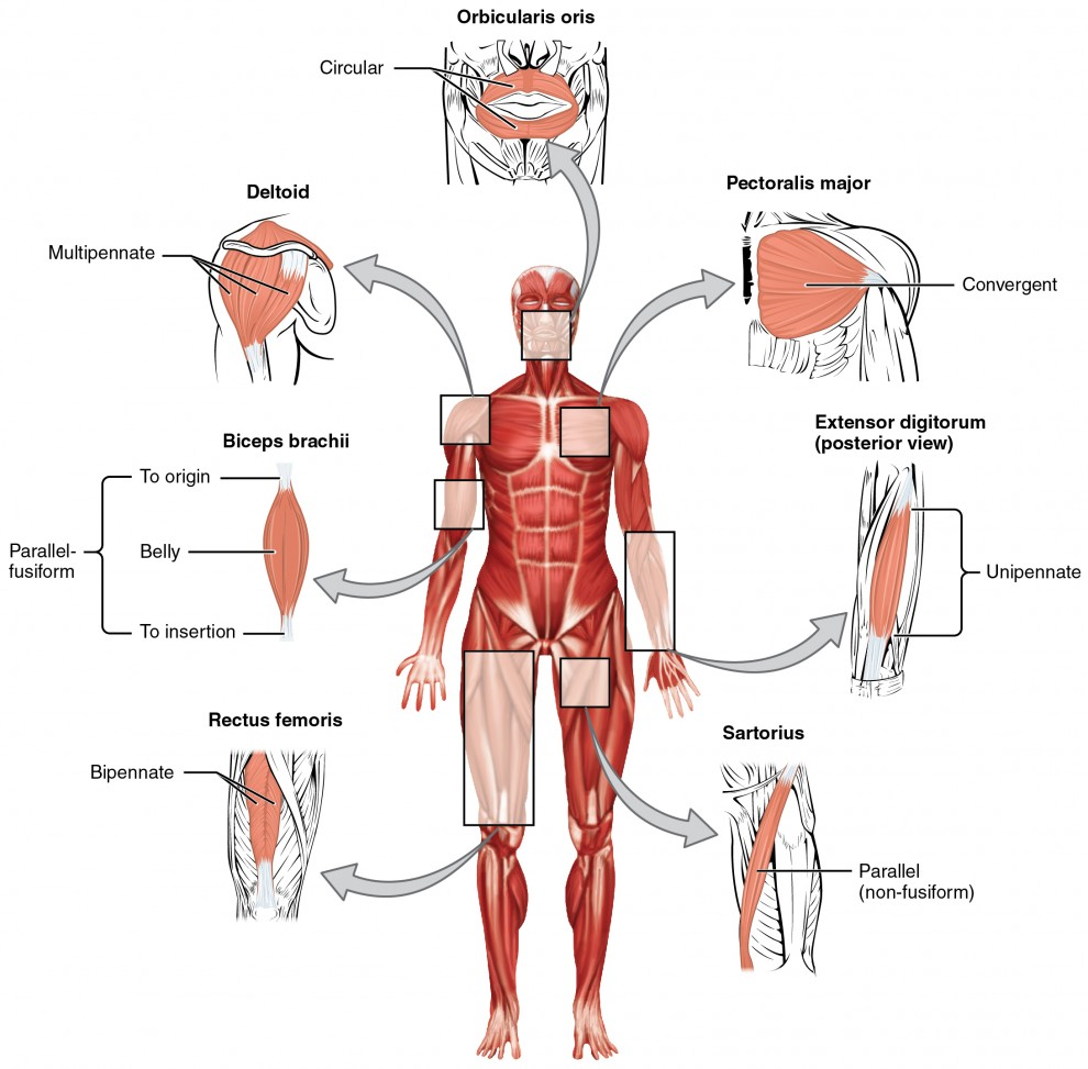 This figure shows the human body with the major muscle groups labeled.