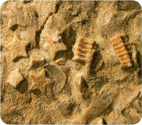 Estrela do mar pequena fossilizada incrustada em pedra