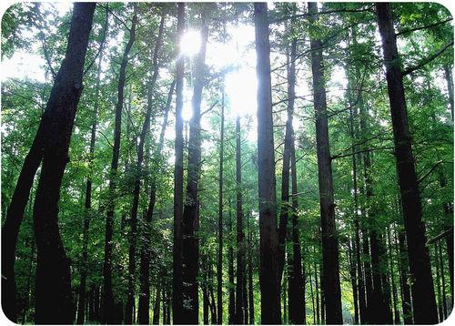 Uma floresta de árvores altas e finas