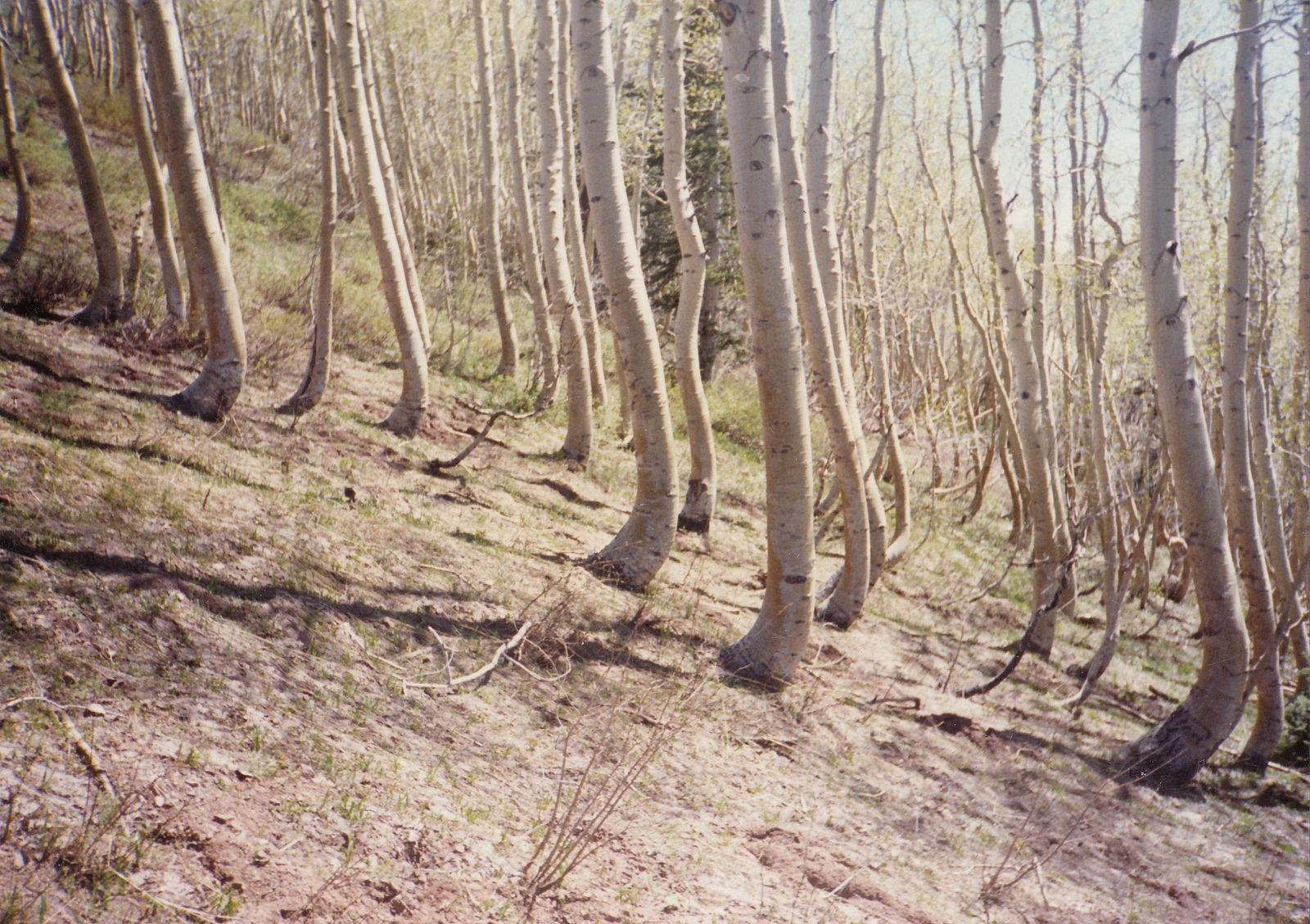 Árvores em uma ladeira.  As árvores estão dobradas na base.  Parece que as árvores cresceram inicialmente e depois o chão mudou.