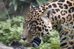 Photo of jaguar's head against a jungle backdrop