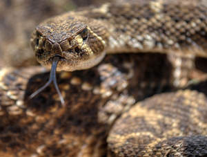 Photo of a close-up shot of a coiled rattlesnake, its tongue extended towards the camera