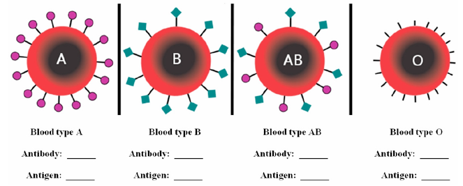 Blood types A, B, AB, and O. Students are meant to indicate the antibodies an antigens for each blood type.