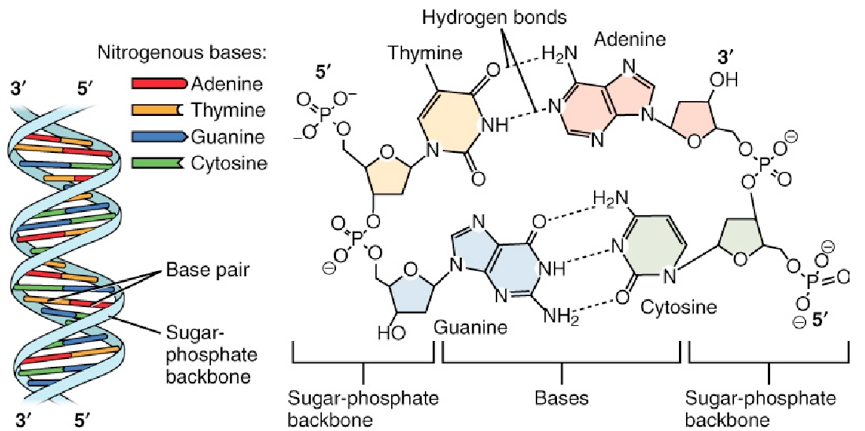 This figure shows the DNA double helix on the left panel. The different nucleotides are color-coded. In the right panel, the interaction between the nucleotides through the hydrogen bonds and the location of the sugar-phosphate backbone is shown.