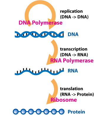 An overview of the (basic) central dogma of molecular biochemistry with all enzymes labeled.