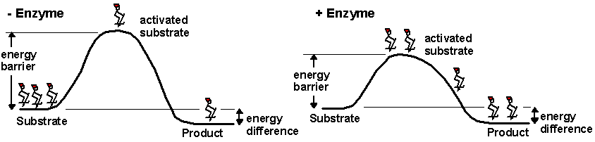 A noncatalyzed reaction is shown on the left and an enzyme-catalyzed reaction is shown on the right. The enzyme reduces the energy barrier required to activate the substrate, allowing more substrates to become activated, which increases the rate of product formation. Note that the energy difference between the substrate and the product is not changed by the enzyme.