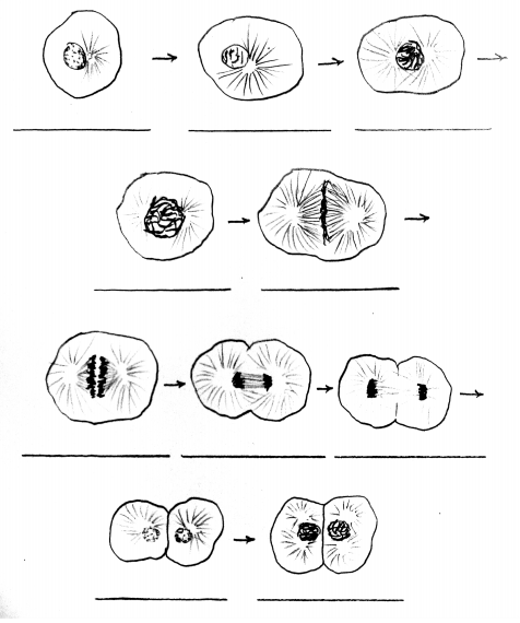 ten hand-drawn images of the process of mitosis in the whitefish blastula