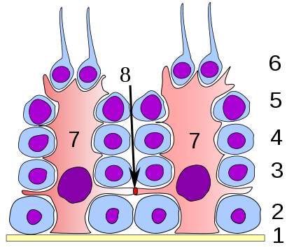 Germinal epithelium of the testicle. 1 basal lamina, 2 spermatogonia, 3 spermatocyte 1st order, 4 spermatocyte 2nd order, 5 spermatid, 6 mature spermatid, 7 Sertoli cell, 8 occlusive junctions
