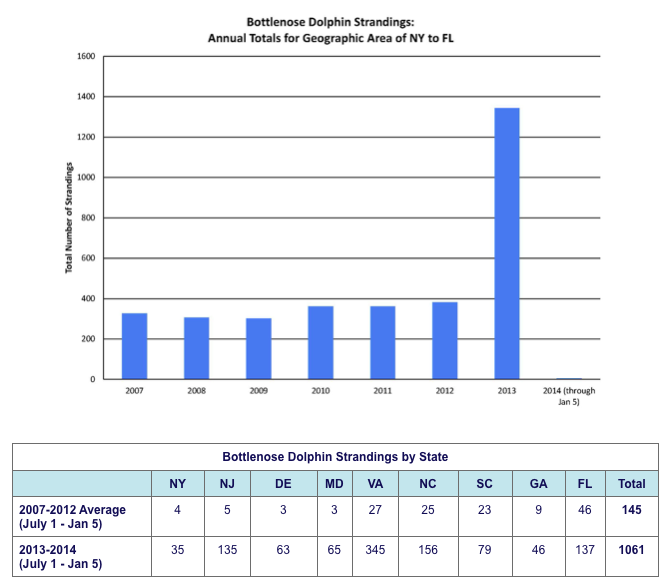 Bottlenose Dolphin Strandings: Annual Totals for Geographic Area of NY to FL. This shows a graph from 2007-2013 and the tripling of bottlenose dolphin strandings in 2013 (to roughly 1350 per year, up from under 400 in 2012). Another table shows bottlenose dolphin strandings by state, showing the most dramatic increases in New Jersey, Virginia, North Carolina, and Florida. The total sightings in these 9 states between 2007 and 2012 was only 145, but was 1061 between July 1, 2013 and Jan 5, 2014.