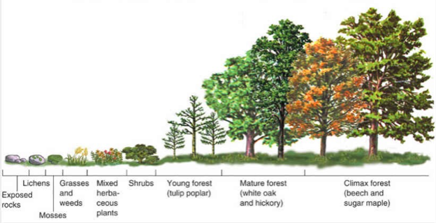 Image showing the progression of the ecosystem, beginning at exposed rocks and progressing towards a mature forest and then a climax forest.