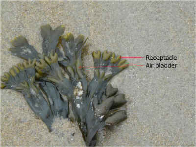 Photo of fucus. Receptacles are at the ends of the fucus.