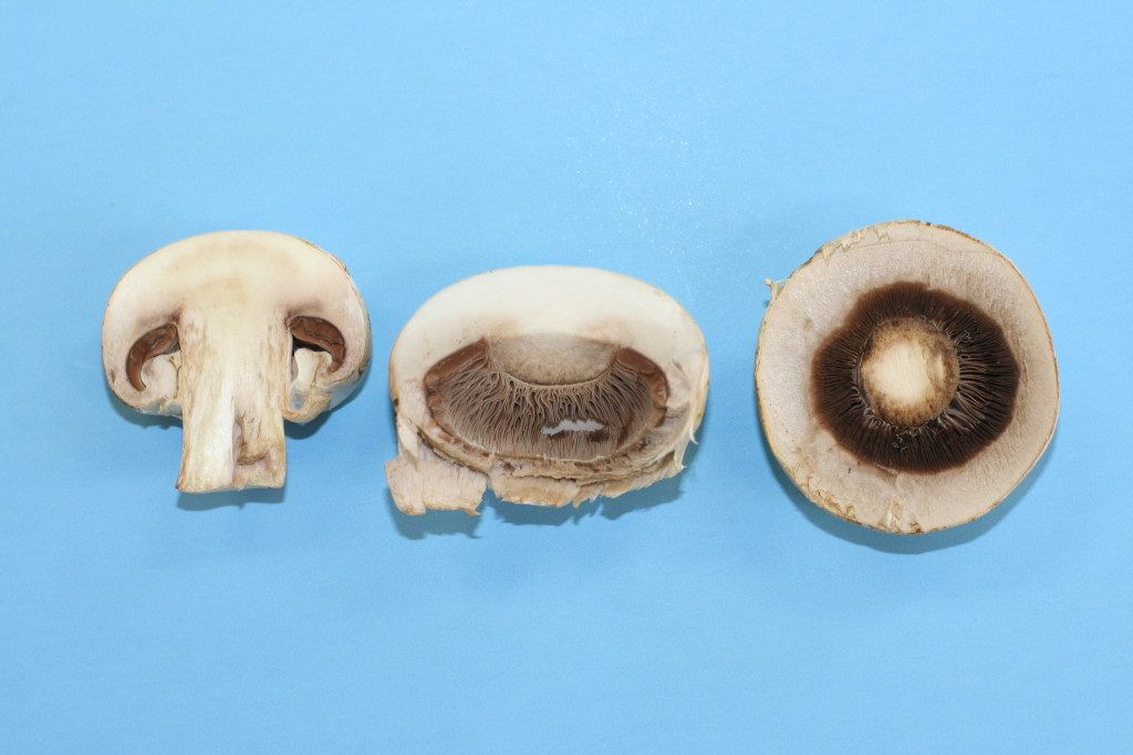 Figure 16. Mushroom cut to reveal the gills