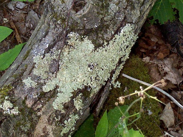 Figure 21. Lichens growing on a tree