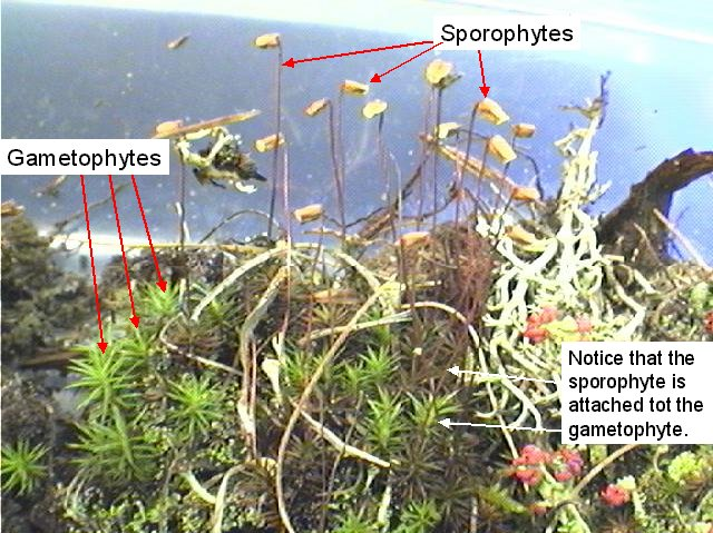 Figure 2. Moss gametophytes and sporophytes