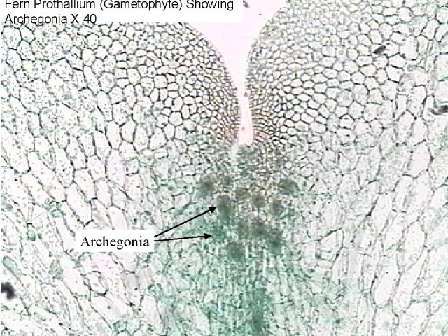 Figure 14. Fern prothallium (gametophyte)