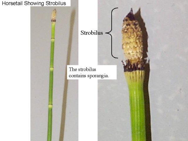 Figure 16. Horsetail showing strobilus