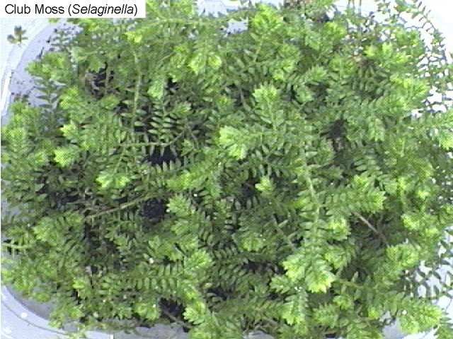 Figure 18. Spike moss (selaginella)