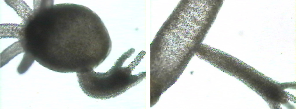 Figure 4. Hydra budding. This is a form of asexual reproduction.