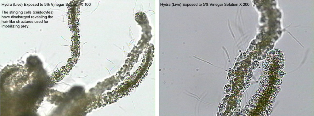 Figure 7. Left: Hydra (Live) Exposed to 5% Vinegar Solution X 100 Right: Hydra (Live) Exposed to 5% Vinegar Solution X 200