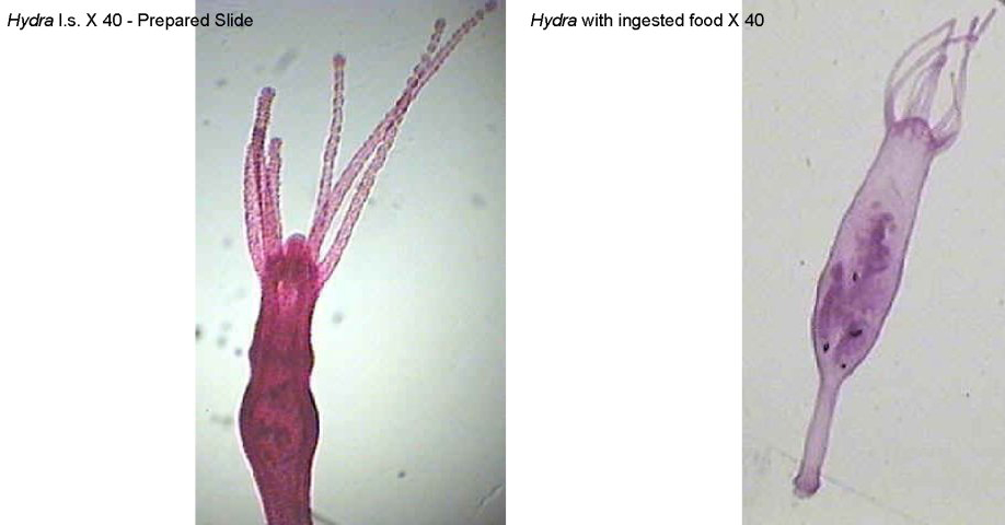 Figure 5. Left: Hydra l.s. X 40. Right: Hydra l.s. with ingested food X 40