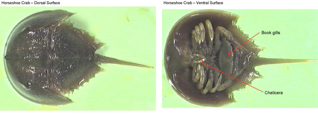 Figure 2. Left: Horseshoe crab dorsal surface. Right: Horseshoe crab ventral surface