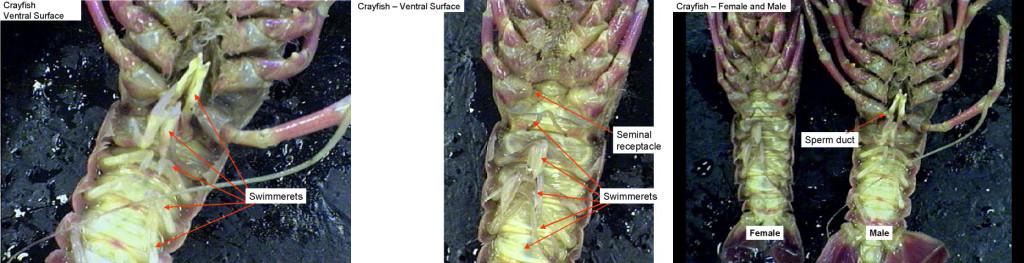 crayfishventral