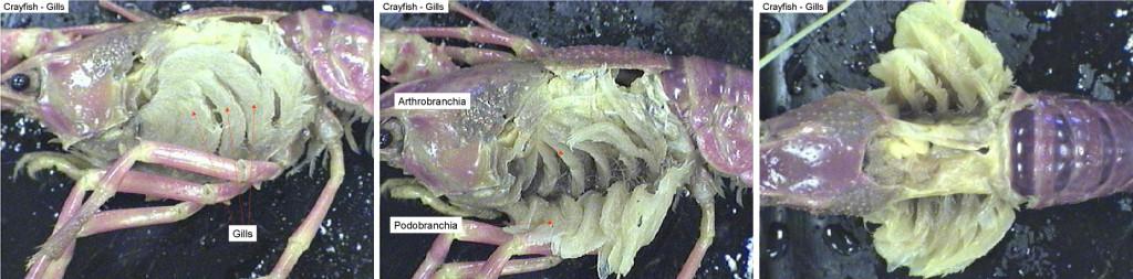 crayfishgill
