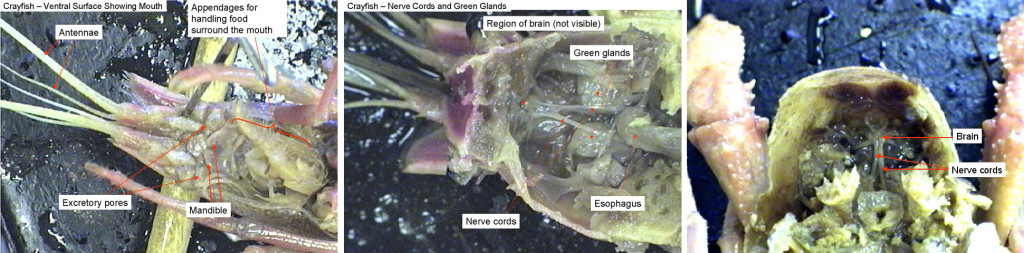 Left: Crayfish ventral surface. Middle: Crayfish viewed from above. The stomach has been removed revealing the nerve cords and green glands underneath. Right: Crayfish viewed from above looking into the head region. The stomach has been removed. The brain can be seen.