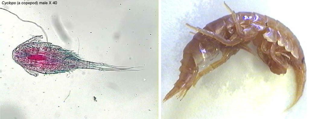 Figure 8. Left: A copepod (Cyclops, male). Right: Krill (Gammarus).