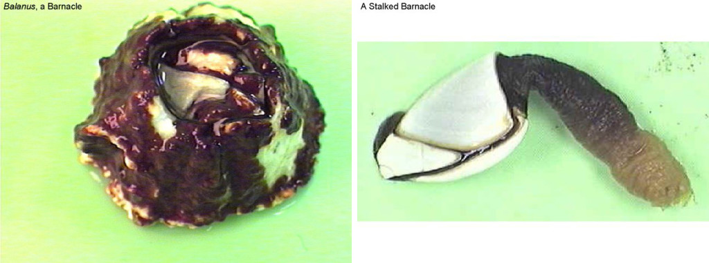 Figure 12. Left: Balanus—a barnacle. Right: A stalked barnacle