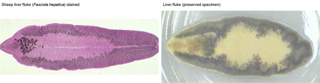 Figure 2. Sheep liver fluke (Fasciola hepatica) stainedLiver fluke (preserved)