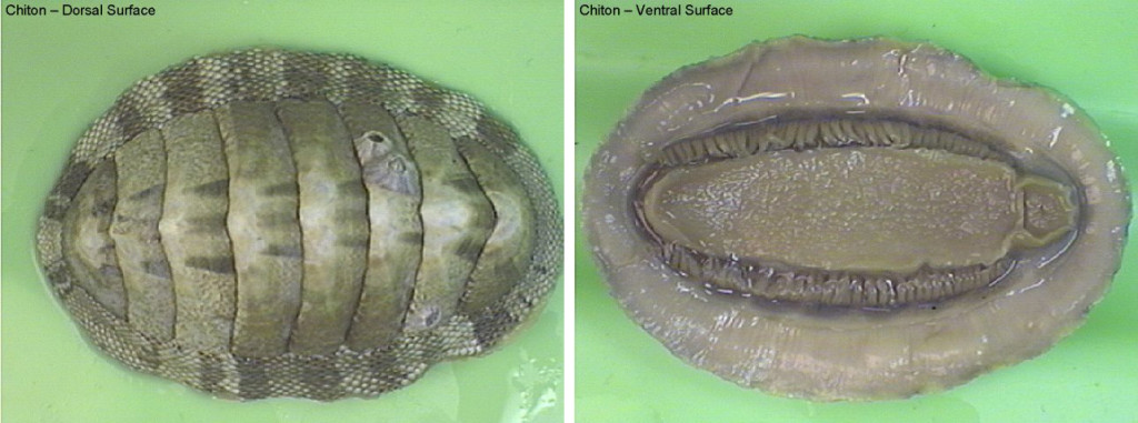 Figure 1. Left: chiton, dorsal surface. Right: ventral surface