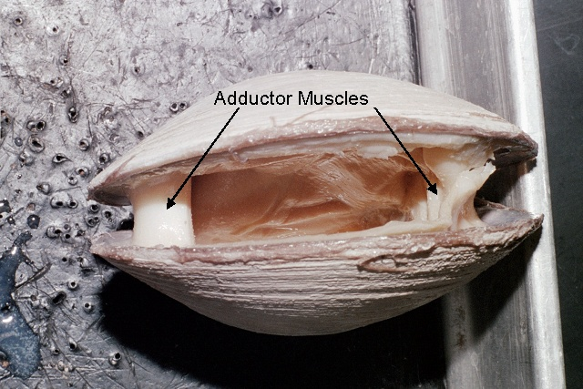 Figure 3. Adductor muscles of a clam.