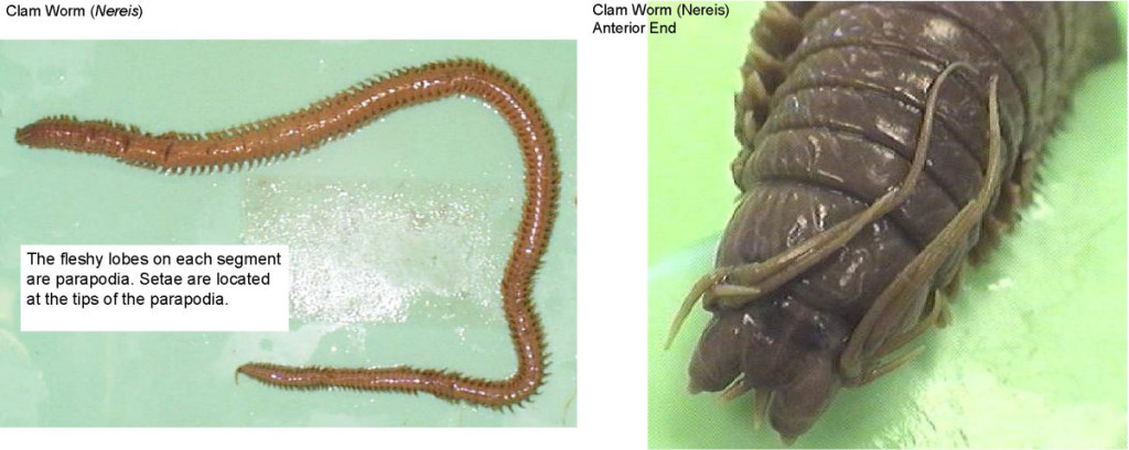 Figure 5. Left: Clam worm (Nereis). Right: Clam worm (Nereis) anterior end