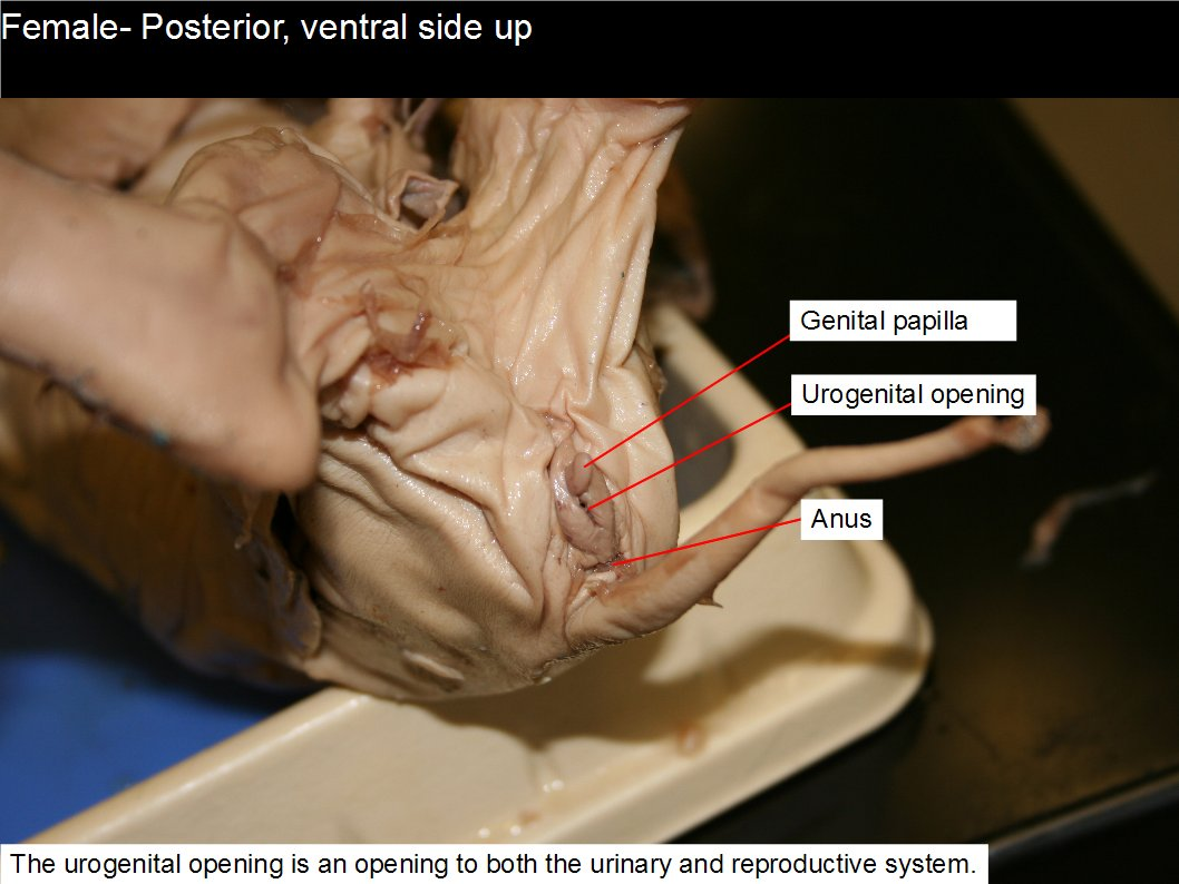 Reading: Fetal Pig Dissection | Biology II Laboratory Manual