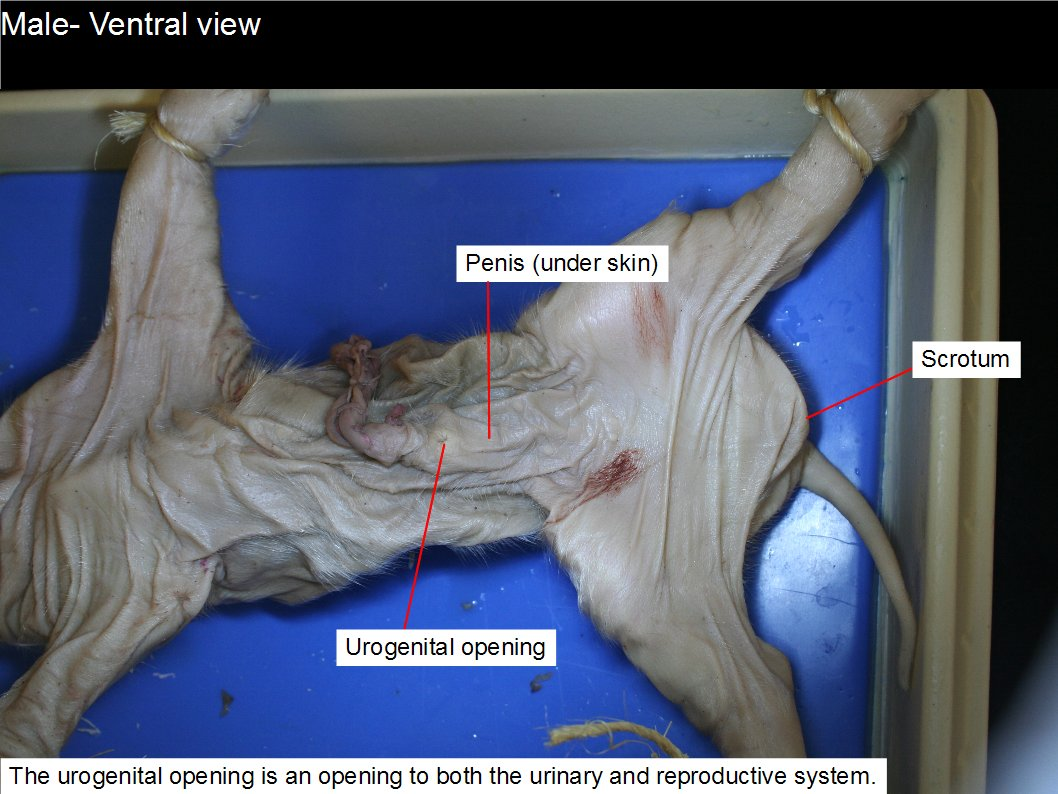 Reading: Fetal Pig Dissection | Biology II Labs