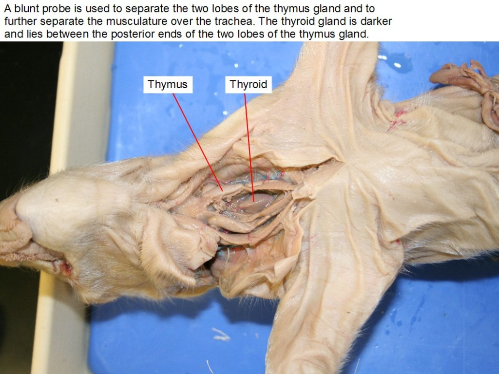 A blunt probe is used to separate the two lobes of the thymus gland and to further separate the musculature over the trachea. The thyroid gland is darker and lies between the posterior ends of the two lobes of the thymus gland.