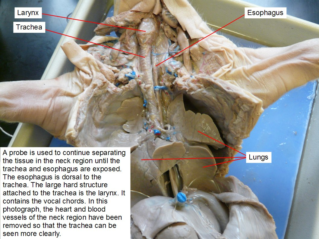 Reading fetal pig dissection biology ii laboratory manual a probe is used to continue separating the tissue in the neck region until the trachea ccuart Gallery