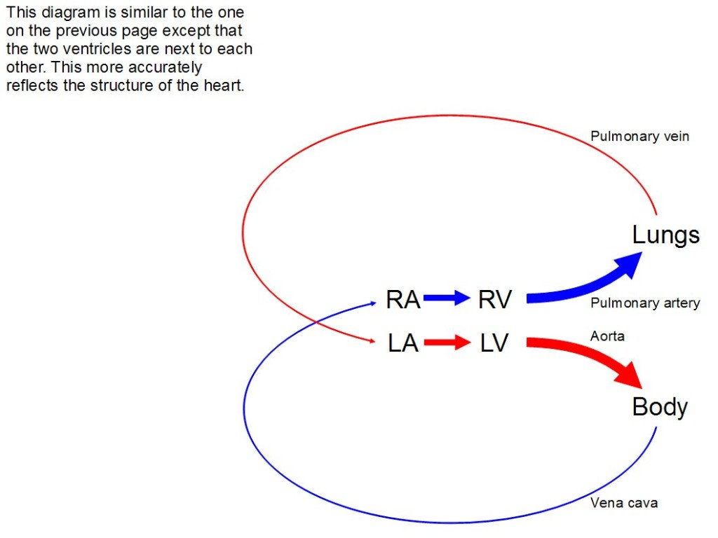 Another diagram, very similar to the one just before. However, the two ventricles are next to each other, which more accurately reflects the structure of the heart.