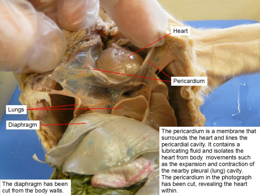 The diaphragm has been cut from the body walls. The pericardium is a membrane that surrounds the heart and lines the pericardial cavity. It contains a lubricating fluid and isolates the heart from body movements, such as the expansion and contraction of the nearby pleural (lung) cavity. The pericardium in the photograph has been cut, revealing the heart within.